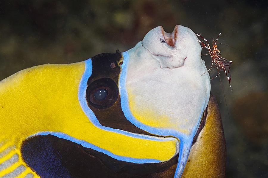 Même les poissons coralliens profitent régulièrement d'un nettoyage.