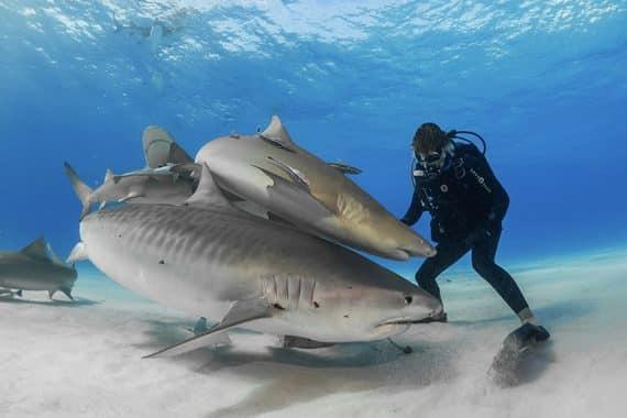 plongeur et requins